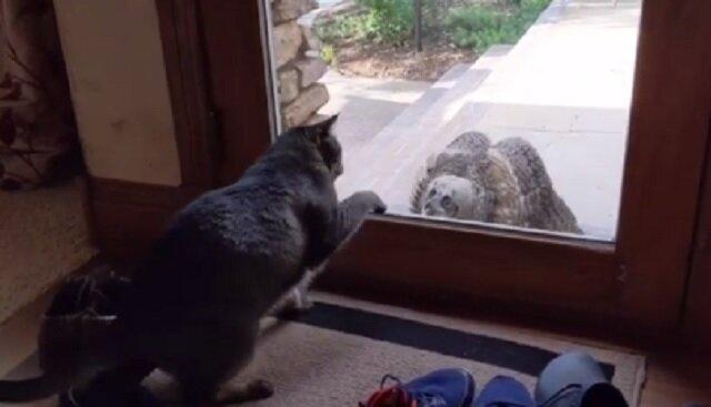 Sowa próbowała przestraszyć kota domowego, ale on nie poddał się