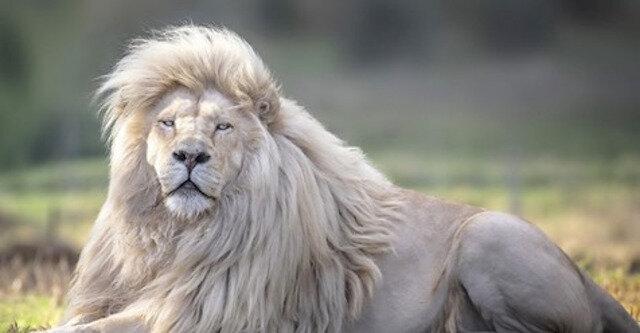 Moya to najpiękniejszy biały lew na świecie