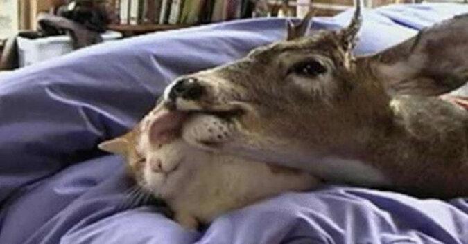 Jelonek znalazł nową matkę w obliczu domowej kotki. Niesamowite wideo