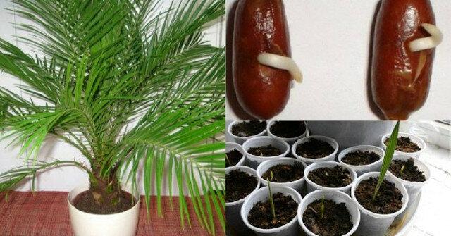 Palma daktylowa. Jak wyhodować