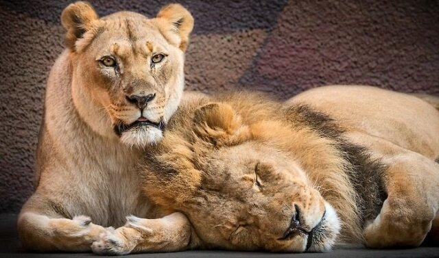 """Miłość raz na zawsze: ludzie pomogli starszej parze lwów przejść razem przez """"tęczę"""""""
