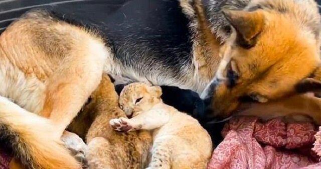 Pies, który nienawidzi kotów, zaczął karmić dwa lwiątka