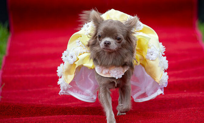Najbardziej modną chihuahua w Wielkiej Brytanii jest mała Twiglet