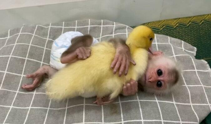 Mała małpka bardzo się starała uśpić kaczątko