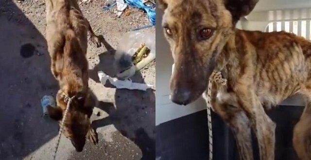 Aby uciec od złych właścicieli, pies o imieniu Lena, podjęła ostatni wysiłek