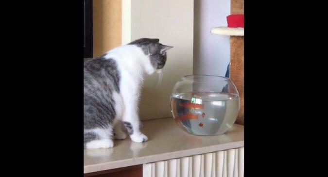 """Złota rybka """"spoliczkowała"""" wpatrującego się w nią kota. Zabawne wideo"""