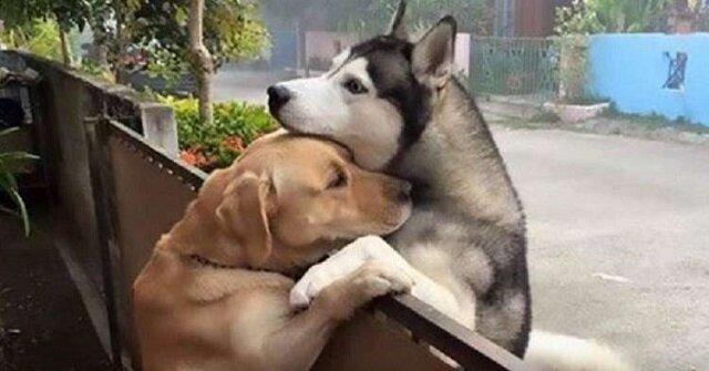 Pies nieustannie ucieka ze swojego podwórka, by przez płot przytulić swojego najlepszego przyjaciela