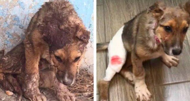 Wolontariusze uratowali psa przed śmiercią, a teraz jest on prawdziwym przystojniakiem
