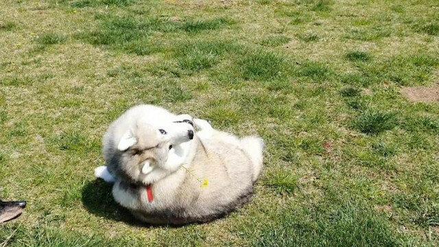 Sprytny właściciel używa kwiatów, aby leniwy husky schudł