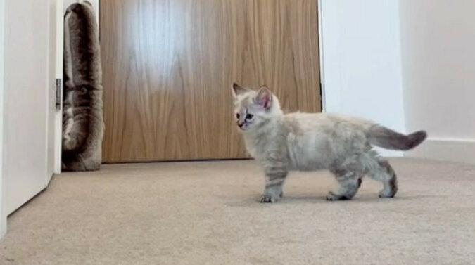 Dziewczyna nagrała reakcję kociaka na jej wyjście z pokoju - już nigdy go nie zostawi. Wideo