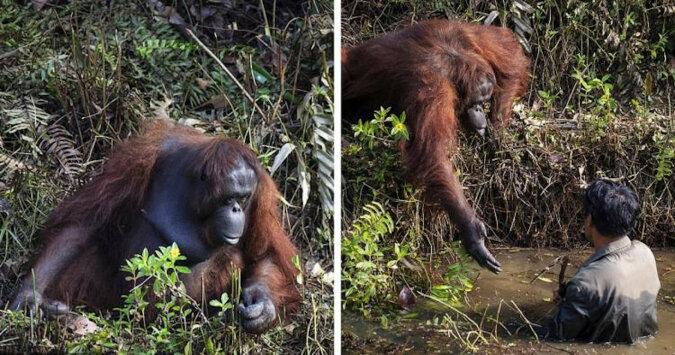 Orangutan wyciągnął pomocną dłoń mężczyźnie, który stał w wodzie