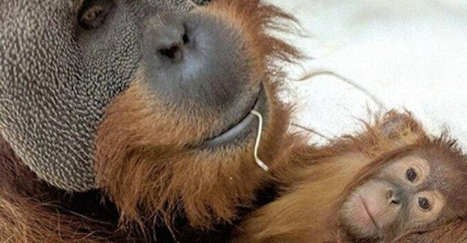 Tata orangutan opiekował się swoją córką, gdy zmarła jej mama
