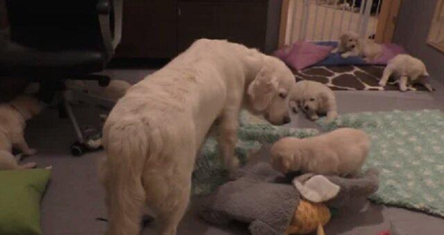 Pies w sekundę uspokoił siedem zbyt aktywnych szczeniąt i zaskoczył wszystkich. Wideo