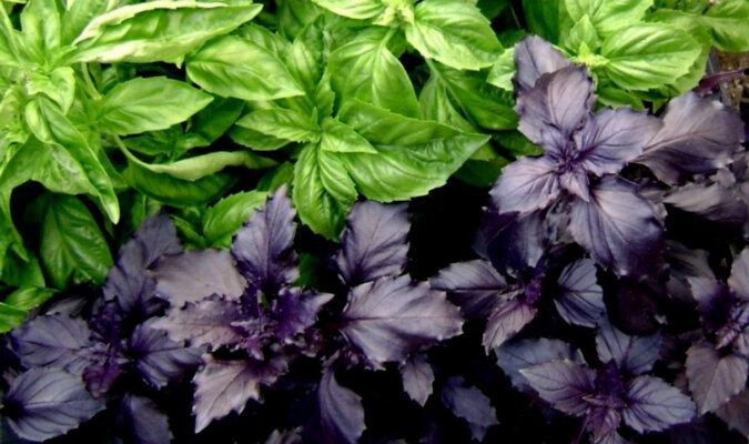 Zielona czy fioletowa bazylia: korzyści i szkody