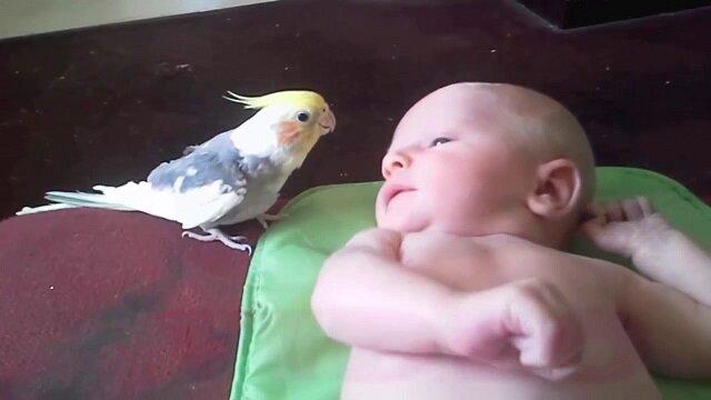 Papużka falista śpiewa dziecku kołysanki