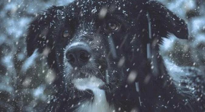 Ślepy pies wybrał swoją właścicielkę i szedł do niej na mrozie przez 5 dni