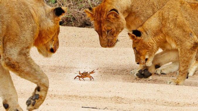 Jak krab zahipnotyzował lwy: wideo