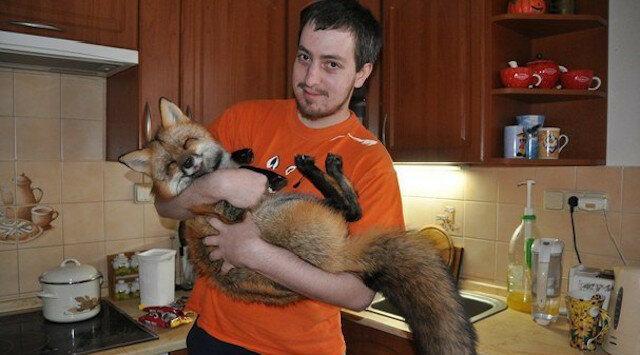 Mężczyzna zabrał chorego lisa z fermy, teraz to naprawdę piękne zwierzę