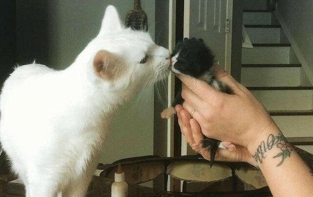 Ten kot poświęcił swoje życie opiece nad przybranymi kociętami i stał się idealnym zastępczym tatą