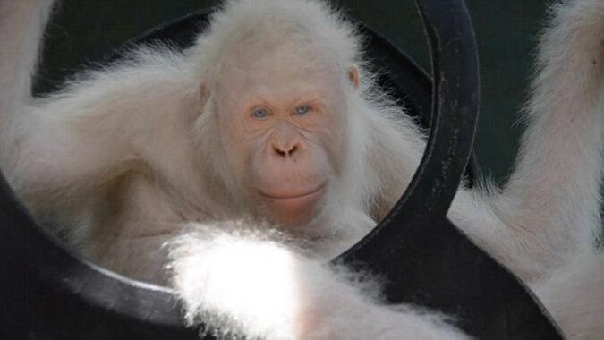 W Indonezji został wyleczony i wypuszczony na wolność orangutan albinos