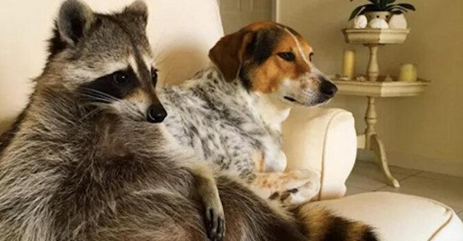 Uratowany szop jest przekonany, że jest psem