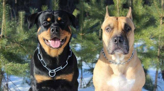 Historia o tym, jak dwa ogromne i surowe psy zostały troskliwymi tatusiami