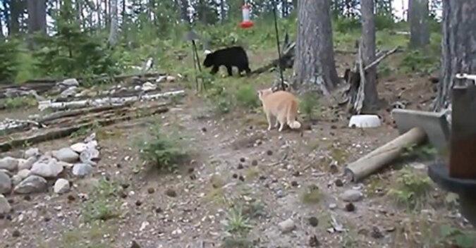 Myszy są dla słabeuszy: kot z Rosji poluje na niedźwiedzie. Wideo