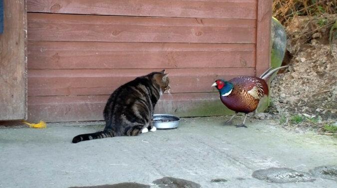 Bażant zabrał kotu jedzenie. Wideo