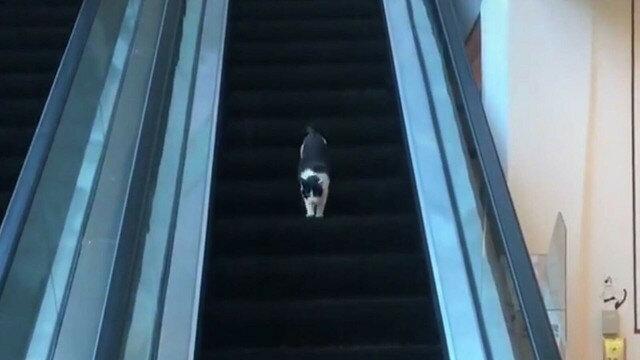 Uparty kot kontra schody ruchome: zabawny filmik z Chin