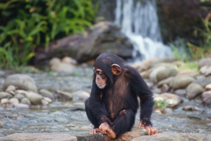 Para uratowała nowo narodzoną małpę, która została sierotą. Ich spotkanie wzrusza do łez