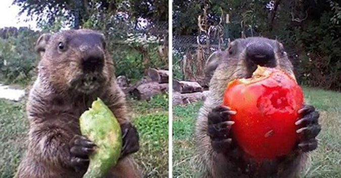 Świstak kradł warzywa i został zdemaskowany, jednak oczarował wszystkich swoim słodkim chrupaniem