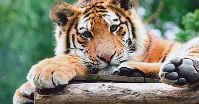 Nowonarodzone młode tygrysy stawiają pierwsze kroki: wideo