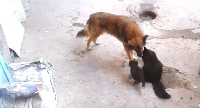 Kotka przedstawia psa swoim kociętom - filmik o prawdziwym zaufaniu