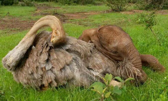 Osierocony słoń, który stracił matkę, codziennie przytula strusia