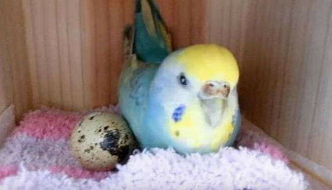 Kobieta kupiła w sklepie jajko przepiórcze i położyła je do klatki swojej papugi