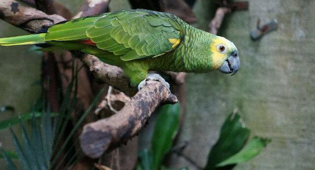 Wideo - zamknięta w klatce papuga bezczelnie żartuje z mieszkańców domu