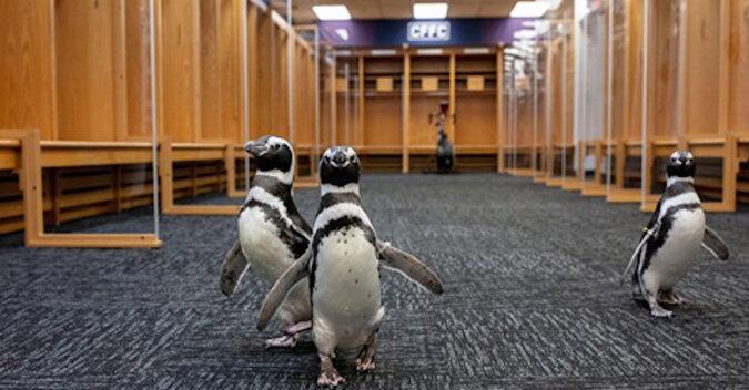 Znudzone pingwiny z oceanarium wyprowadzane są na spacery