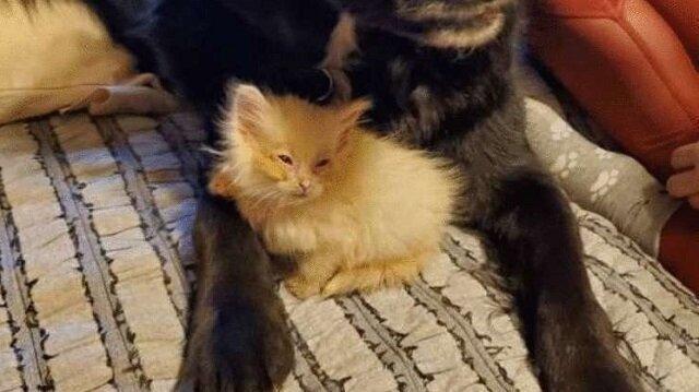 Rodzina adoptowała malutkiego kotka, nieświadomego jego bardzo przydatnego talentu
