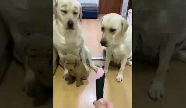 Ten, który zgryzł zabawkę, wskazał na innego psa, ale jego plan ujawnił mądrzejszy pies, za co otrzymał cios nosem w bok