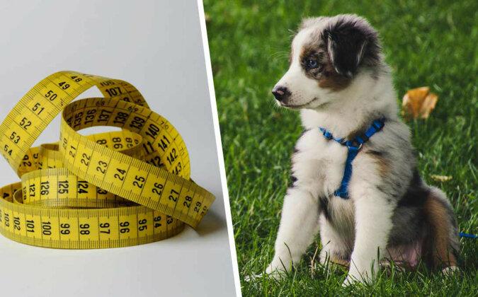 """Właściciel adoptował psa ale patrząc na rozmiar tego """"wilkołaka"""", trudno powiedzieć, kto jest czyim zwierzakiem"""