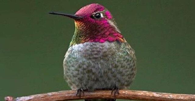 Kolibry są kolejnym potencjalnym zagrożeniem dla ludzkości