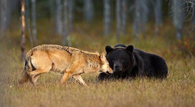 Niesamowita przyjaźń między niedźwiedziem i wilkiem: wyjątkowe zdjęcia zrobione przez mieszkańca Finlandii