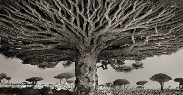 Fotograf od 14 lat fotografuje najstarsze drzewa na świecie