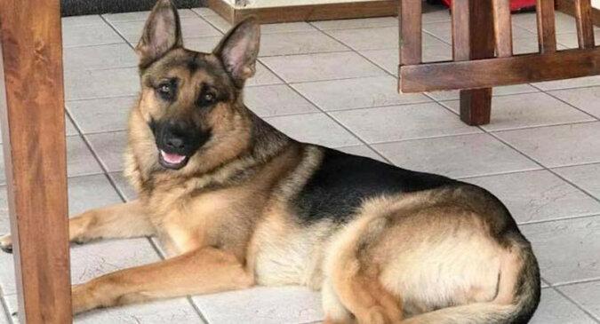 Pies Rex został ranny ratując swojego pana przed bandytami