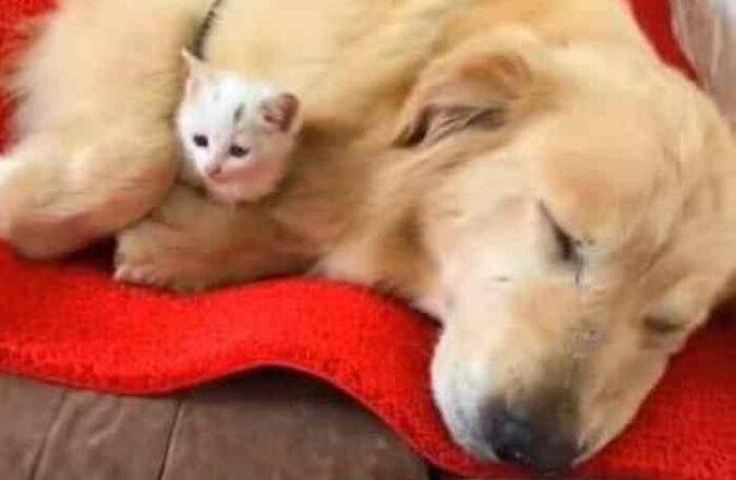 Golden Retriever uratował małego kotka, przyniósł go do domu i zaczął się nim opiekować