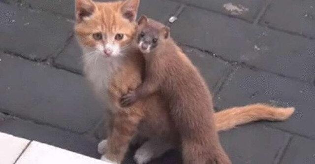 Niesamowita przyjaźń kotka i łasicy podbiła sieć
