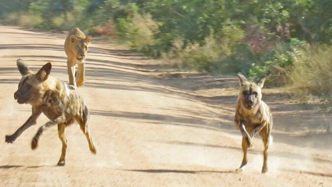 Niestrudzona lwica goni likaon pstry: wideo
