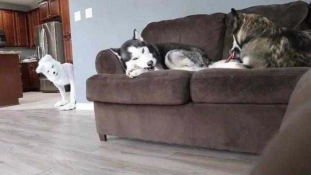 Właściciel chciał zrobić kawał swoim psom husky przebierając się w strój wilka. Filmik z pozytywną nutą