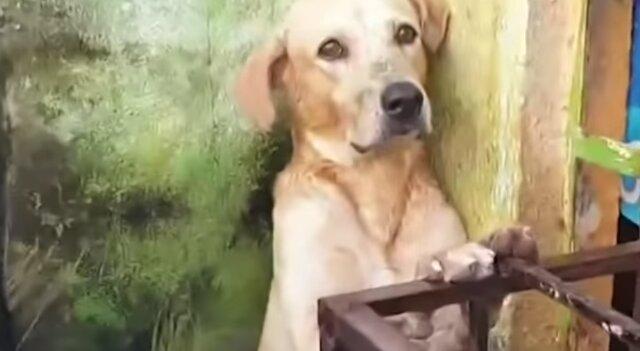 Wzruszające uratowanie labradora podczas powodzi: wideo
