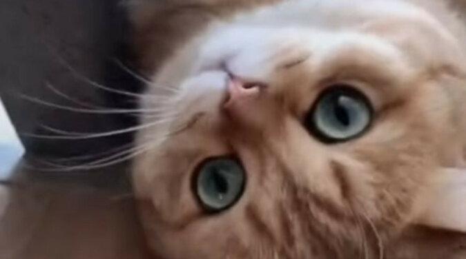 Na co patrzysz? Możesz pogłaskać: kot z Chin oczarował Internet swoim pięknem i zachowaniem